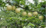 Poire fruits Chinois Asiatiques Hebei couronne Golden pear pear