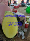 Mango fresco, fruta de Mango de gran tamaño, la nueva cosecha, Entrega Rápida