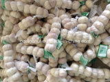 White normale Garlic 5.0cm & 5.5cm 6p/Bag
