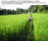 Riso che pianta con il bio- fertilizzante organico di Unigrow