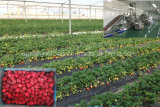 Gefrorene Erdbeere oder gefrorene Frucht