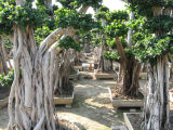 Alberi dei bonsai di Microcarpa del Ficus