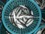 De gehele rond Bevroren Bevroren Makreel van Zeevruchten Vissen voor Markt (japonicus Scomber)