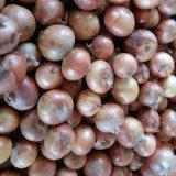 De bonne qualité d'oignons jaunes fraîches chinois (5-7 cm)