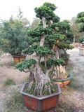 기근 Ficus (HBH-R04)