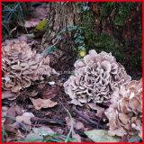 طبيعيّ [ميتك] فطر مقتطف /Grifola [فروندوسا] مقتطف سكّر عداديّ