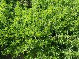 영 열량 스테비아 건조한 잎에서 자연적인 감미료 스테비아 Steviol 배당체 95% 추출