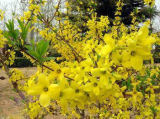 Estratto piangente naturale Phillyrin di Forsythia