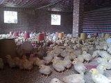 促進するUnigrowの家畜の成長は腸を調節する