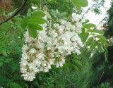 Venta al por mayor pura de la luteolina el 98% de la alta calidad, polvo del extracto de Scphora Japonica