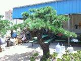 Uso ao ar livre de pinheiros artificiais