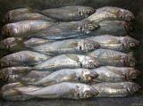 Bevroren Paard - de Vissen van de makreel