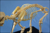 Modello animale Cane Modello di scheletro per la farmaceutica e di riferimento del veterinario
