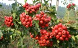 Hawthorn Fruit Extract Hawthorn Extract