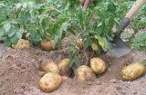 Prezzo fresco della patata del commercio all'ingrosso della patata per l'esportazione