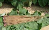 순수한 자연적인 Burdock 루트 추출 40% Arctiin