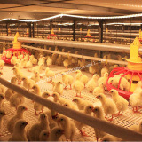 Автоматическое оборудование фермы в доме цыплятины с сараем стальной структуры