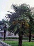 稀な hardiest Palm (t フォルトゥンエイ CV テスン)