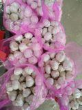 Новую Культуру Jinxiang Обычный белый чеснок (5.0cm и выше)