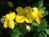 Extrait normal pur 90% de Chelidonine Swallowwort d'extrait de Celandine