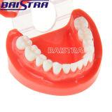 Uso dental estándar de la enseñanza del color rojo del modelo de los dientes para la venta