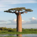 Kalorienarmer Baobab-Frucht-Auszug