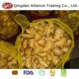 La nouvelle récolte de matières grasses de gingembre frais