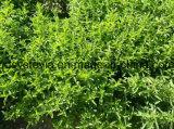 I dolcificanti puri comerciano lo Stevia all'ingrosso organico del cristallo dell'eritritolo