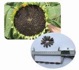 Les semences hybrides de tournesol à rendement élevé