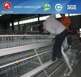 Galvanized Chicken Breeding Farm Machinery Battery Layer Cage avec alimentation automatique