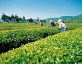 HPLC van het Uittreksel van de Thee van het Verlies van het gewicht Zuivere Natuurlijke Groene 95% Polyphenols van de Thee