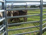 Comitato d'acciaio del bestiame