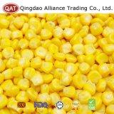 Grains neufs de maïs de collecte avec de bonne qualité