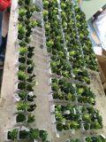 人工的なプラントグウJy06180328の普及した小型BonsaiのSucculent