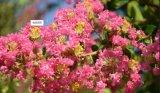 Corosolic 산 2%-98 Banaba 잎 추출