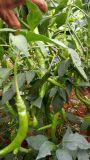 Bio- fertilizzante organico di Unigrow sulla piantatura organica di /Chillies del pepe