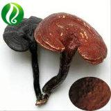 Broken Ganoderma lucidum de polvo de esporas de un 99% de tasa de rota