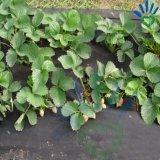 tessuto nero resistente di controllo di 100gx 1X10m Weed/anti panno di erba