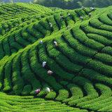 La Chine Thé vert de bonne qualité