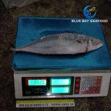 Pesci dello scombro dei frutti di mare congelati 300-500g freschi più poco costosi qualità di migliore e di nuovo arrivo