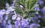 Естественная кислота Ursolic, хорошее качество