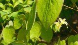 Роговая выдержка Weed козочки для секса увеличивает