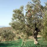 Réseau olive de moisson de PE de Vierge avec les additifs UV (YHZ-HON04)