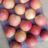 中国の新しく赤いQinguan Appleの新しい収穫