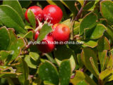 UVA UrsiかBearberryの葉のエキス、Arbutin 98%を白くする皮