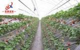 Tunnel-Gewächshaus für Gemüsezüchter mit Stahlkonstruktion