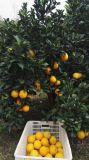 Fruta fresca da laranja do umbigo de Gannan