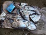 中国のフリーズされたMoonfishの工場