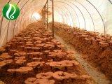 Oragnic Reishi Shell-Unterbrochenes Spore-Puder