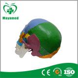 나 N225의 착색된 실물 크기 플라스틱 의학 해부 인간적인 두개골 모형